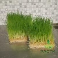 Пшеница для домашних животных и птиц